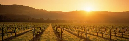 Napa Valley Vineyard, California by Panoramic Images art print