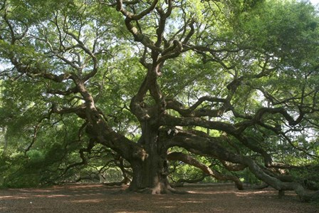 Angel Oak 9098 by Robert Goldwitz art print